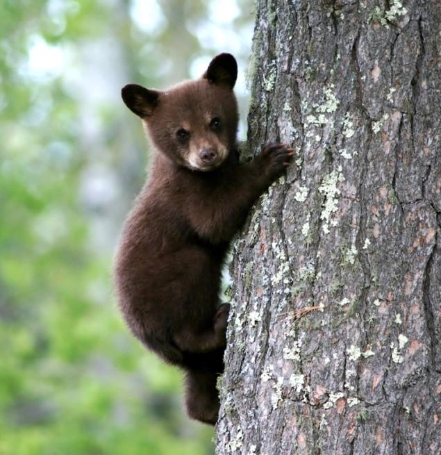bearcub2