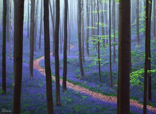 kilian 3bluebells-blooming-hallerbos-forest-belgium-1