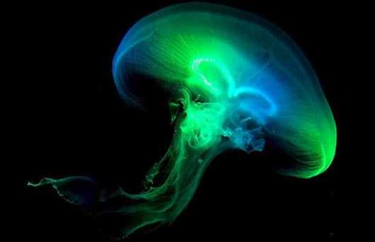 jellyfish1_1350559i